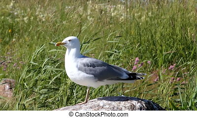 seagull looks around sitting on a stone among reed waves