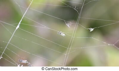 mosquitoes stuck and are entangled in a web - mosquitoes...