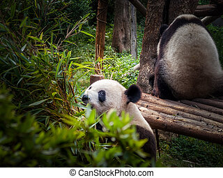 Panda Chengdu - Panda playing in the bamboo forest in...