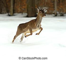 Deer running in the snow in winter