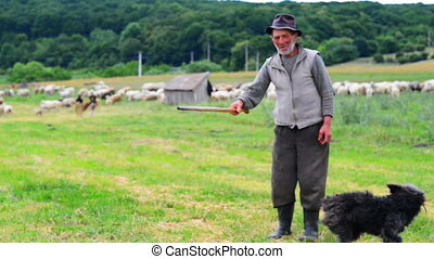 Old Sheperd near his flock - Old shepperd man playing with...