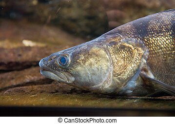 Pike Perch - Sander lucioperca - portrait of freshwater fish...