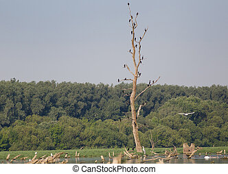 Cormorants on tree - Flock of cormorants standing on dry...