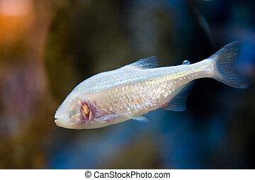 Astyanax fasciatus mexicanus - Blind Cave Fish - aquarium...