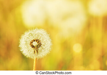 Charm of summer - dandelions on a summer solar meadow