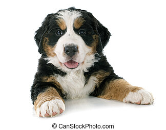 puppy bernese moutain dog - portrait of a purebred bernese...