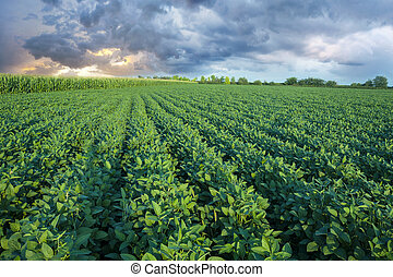 Soy field with rows of soya bean plants in sunset