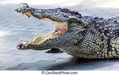 crocodile.  - crocodile.