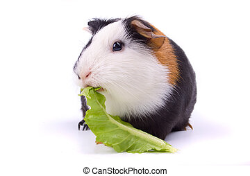 Guinea pig isolated on white - Guinea pig eating green...