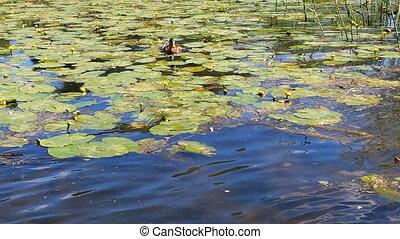 Single wild duck in wetlands