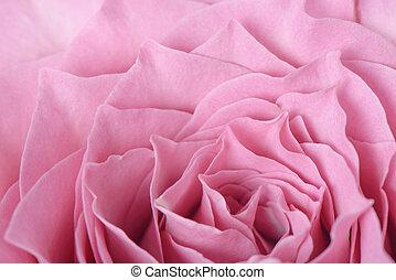 closeup of pink rose in full bloom