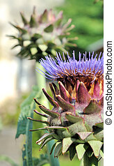 Artichoke Flower - pretty singular flowers of a head of...