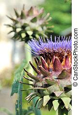 Artichoke Flower - pretty singular flowers of a head of...