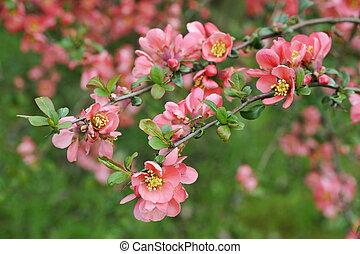 japonés, membrillo, rama, -, Florecer