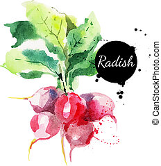Radish with leaf. Hand drawn watercolor painting on white...