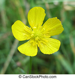 Buttercup - Yellow herb