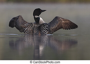 Common Loon Rising out of Water on a Misty Lake - Common...