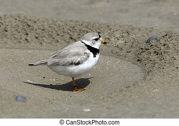 Piping Plover at Nest Excavation on Beach