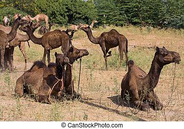 Camel at the Pushkar Fair , Rajasthan, India - Camel at the...