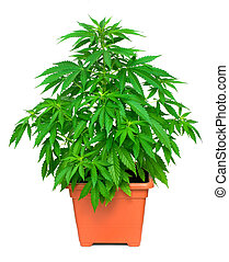 Marijuana plant - One healthy marijuana plant in flower pot
