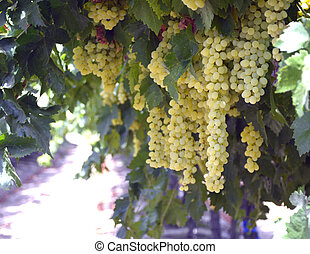 Grapes - Grapes ripe juicy green and fragrant vines in the...