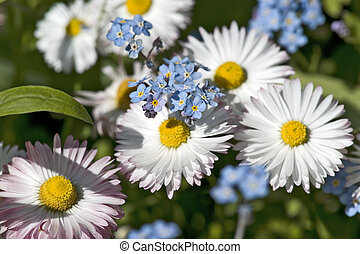 Pink daisies and forget-me-not flowers in the garden close...