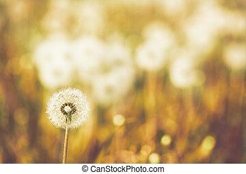 Charm of summer - dandelions on a summer solar meadow