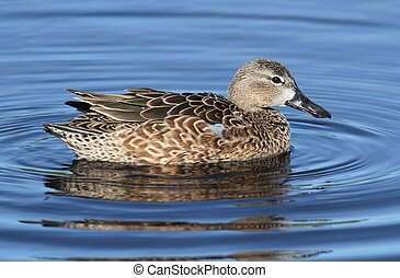 Female Blue-winged Teal (anas discors) swimming in the...