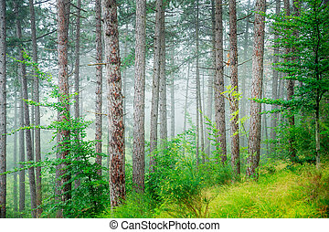 Beautiful pine tree forest
