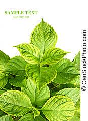 Leaves of a hydrangea