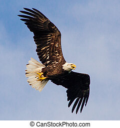 Bald Eagle - Bald eagle in flight in Arkansas