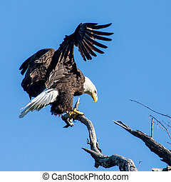 Bald Eagle - Eagle landing on a dead branch in Arkansas