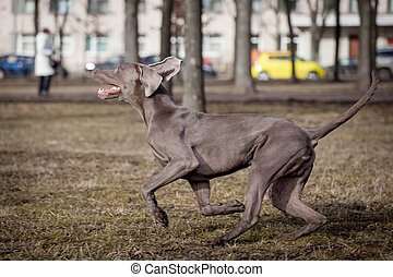 Weimaraner dog outside - Beauty Weimaraner runs by the sping...