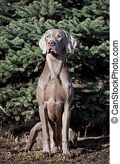 Weimaraner dog outside - Beauty Weimaraner sitting in the...