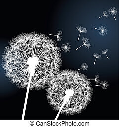 Two flowers dandelions on black background - Stylish...