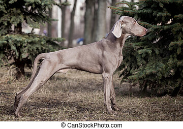 Weimaraner dog outside - Beauty Weimaraner stay by the sping...
