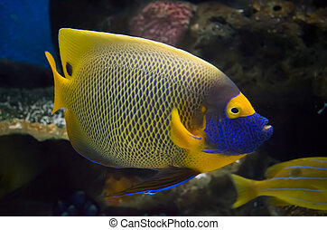 Beautiful Angel Fish in the sea - Beautiful Angel Fish with...