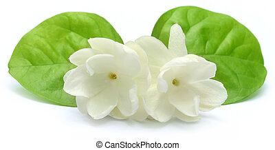 Jasmine flower with leaves over white background