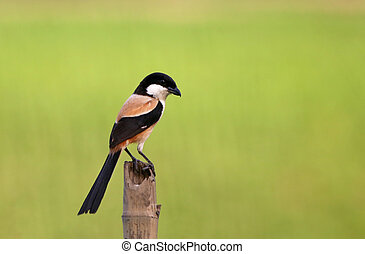 Long tailed shrike sitting on a pole