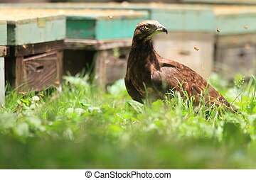 Oriental honey-buzzard Pernis ptilorhyncus in Japan
