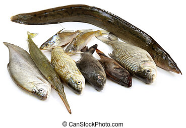 South Asian fishes over white