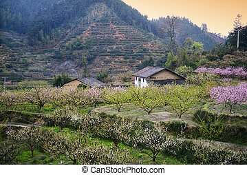 Rural landscape,Peach Blossom in moutainous area in shaoguan dis