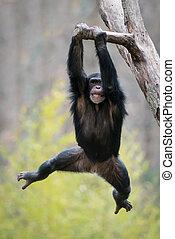 Swinging Chimp II - Young Chimpanzee Swinging from a Tree...