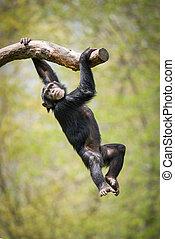 lengés, csimpánz, II