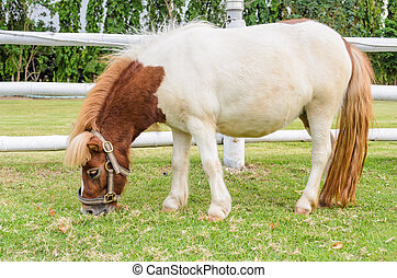 Dwarf horses eating grass in the farm of Thailand