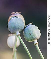 Opium Close-up