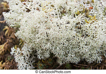 White lichen - Close-up of white lichen, north of Russia
