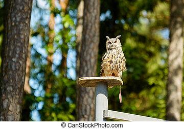 Eurasian eagle-owl (Bubo bubo) - Eurasian eagle-owl, Bubo...