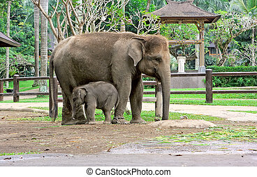 Elephant son and elephant mom - Small and big elephants in...