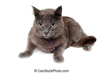 Gray cat on a isolated white background. - Gray cat is...